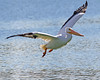 good day to fly (Dianne M.) Tags: white pelicans nature outside sunny flight wings feathers lake water florida