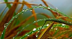 rain _ bow (Lutz Koch) Tags: regen bogen regenbogen rain bow rainbow gras tropfen droplets wiese meadow elkaypics lutzkoch wet nass makro macro nahaufnahme nature natur winter