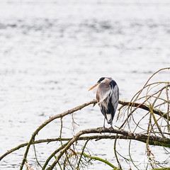 _DSC6309.jpg (kasperisummanen) Tags: birds nisquallynationalwildliferefuge wa pnw wildlife