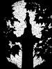 Spying Nelson (Steve Taylor (Photography)) Tags: nelsonscolumn londonplane tree nelson seed art digital column monochrome blackandwhite monotone contrast stark branch trees vigenette silhouette texture