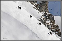 Chamois queue-leu-leu 180115-01-P (paul.vetter) Tags: rupicaprarupicapra capriné chamois bovidé gamuza gemse mountaingoat