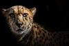 Intensity (helenehoffman) Tags: animalambassador mammal acinonyxjubatus wildlife conservationstatusvulnerable felidae bigcat cheetah sandiegozoo feline carnivore africa nature animal animalsinaction