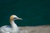 Gannet (matasbarakauskas) Tags: auckland newzealand muriwai gannet bird wildlife nikon ocean stoic nz beuatiful noplastic birds