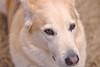 Amber eyes (Praj.M) Tags: husky lab canont6i dog portrait photography canon50mm moody daylight cheerful happy eyes focus backyard family face photo pet