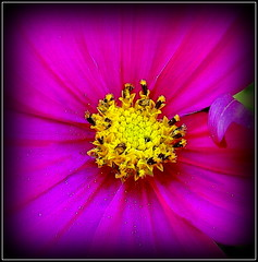 Natural Wonder (dimaruss34) Tags: newyork brooklyn dmitriyfomenko image flower cosmos
