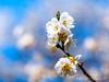 梅花 (紅襪熊(・ᴥ・)) Tags: olympus omd em1 m43 micro43 microfourthirds olympusem1 梅花 陽明山 zuiko 50mm macro bokeh plum blossom plumblossom