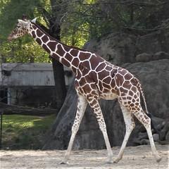 Brookfield, IL, Brookfield Zoo, Giraffe (Mary Warren 10.0+ Million Views) Tags: brookfieldil brookfieldzoo nature fauna animal mammal giraffe
