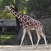 Brookfield, IL, Brookfield Zoo, Giraffe (Mary Warren 9.6+ Million Views) Tags: brookfieldil brookfieldzoo nature fauna animal mammal giraffe