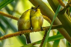 CLOSE  COUPLE (Sandy Hill :-)) Tags: japanesewhiteeye whiteeyes birdsofhawaii birdsofkauai tropicalbirds preening tropical adorable cute cuddles sandyhillphotography