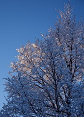 Frosted Branches at Sunrise (The Good Brat) Tags: colorado us tree winter cold frosty blue sky branches simple minimal sunrise dawn snow wintery morning