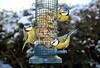180207 mombN 180224 © Théthi (thethi (pls, read my 1st comment, tks a lot)) Tags: oiseau nature mésange bleu mangeoire jardin graisse graine froid février namur wallonie belgique 3 belgium halloffame faves76