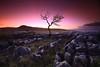 The Yawning Tree (Stu Patterson) Tags: sunrise lone tree yorkshire limestone stu patterson