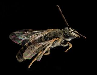 Lasioglossum albipes, m, back, france_2014-06-04-11.07