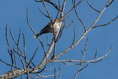 2016 Lark Sparrow 12 (DrLensCap) Tags: temecula california lark sparrow ca bird robert kramer