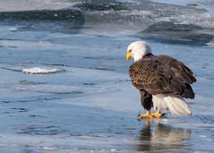 Bald Eagle (explored 01/20/2018) (Lynn Tweedie) Tags: eagle bald wyandotte lake ice blue white brown releasethememo