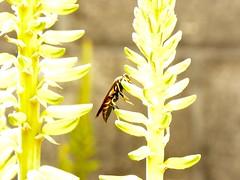 Amarillo por qué si. (Fabricioo Fuentes) Tags: abejas animales guatemala abispas macro fauna belleza amarillo colores antiguaguatemala amor bendicion bonito flores flora frutas feliz diferente hermoso