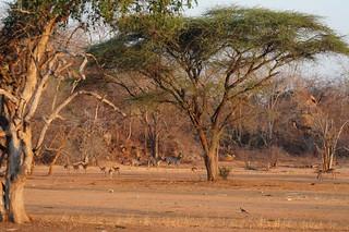 Zimbabwe Cape Buffalo Hunt 95