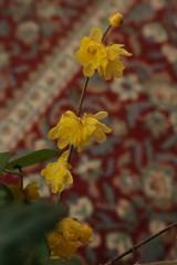 180124003 (murbozero) Tags: murbo japan flower