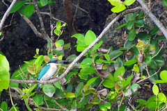 The kingfisher caught a crab (David B. - just passed the 5 million views. Thanks) Tags: macrohon southernleyte leyte philippines bird birds birding animal nature animals sea molopolo marine sanctuary fish santacruz shore seashore beach mangrove tree lowtide tide water evening collaredkingfisher kingfisher halcyonchloris
