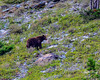 Cinnamon  Black Bear - GNP (dbking2162) Tags: beautiful bear grizzly glaciernational nationalgeographic nature wildlife mountains montana nationalparks