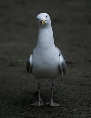 Gull Capone (Graham Ó Síodhacháin) Tags: herring gull bird wildlife margatecemetery