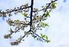 IMG_1668-2 (Haru2212) Tags: flower flora apricot winter canon nature canon450d natural naturalbeauty magic blend blossoms cây cherry sunday landscape ngoàitrời green lightroom vietnam life