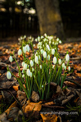 Snowdrops (jim2852) Tags: flowers wildflowers snowdrops woodland cultivated garden gardening seasonal spring white green leaves brown