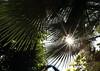 California Sunshine (Golden Ginkgo) Tags: palmtrees southerncalifornia sunburst