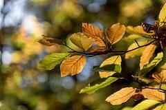 autumn colors (Stefan Giese) Tags: nikon d750 dars darss zingst ostsee balticsea 70300mm afp70300mmf4556 laub herbst farben autumn colors bunt