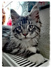 Nesquick mon Maine coon (Kimoufli) Tags: chat cat kitty kitten chaton mainecoon maincoon gatto animal huawei smartphone katz gato cute mignon chatderace pedigree nesquick poilu blacksilver