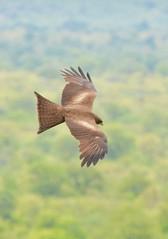 Yellow Billed Kite Victoria Falls (peterleanranger) Tags: victoriafalls zimbabwe africa raptor birdofprey hawk kite milvus aegyptius milvusaegyptius accipitridae accipitriformes aves yellowbilledkite milvusaegyptiusparasitus