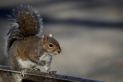 D.C. squirrel (hanley.will) Tags: squirrel nature natural fur tail eye cute kawaii composition