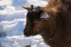 Around the Farm (Vivian J.D.) Tags: animals animal farm farmanimal horse horses pony minihorse paint pinto grey sorrel cat goat