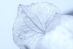 I'm Freezing (Alfred Grupstra) Tags: nature closeup blue plant ice macro white backgrounds winter frozen season frost leaf coldtemperature freshness icecrystal snow beautyinnature nopeople abstract hydrangea flower
