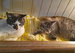Holly & Kittyboy (AKA Bramble) (BKHagar *Kim*) Tags: bkhagar cat kitty kitten feline gato gatto pet fur holly kittyboy bramble siamese