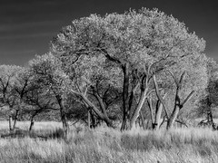 Rio Grande Cottonwood (Ramona H) Tags: bw blackwhite bosquedelapache nm newmexico riograndecottonwood cottonwood tree