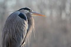 Great Blue Heron (JDA-Wildlife) Tags: birds nikon nikond7100 tamronsp150600mmf563divc jdawildlife johnny portrait closeup heron herongreatblue greatblueheron