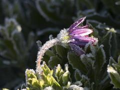 Gebre sobre gebre. (Gelsauc) Tags: gebre frost winter hivern hiver givre flora flor fleur flower