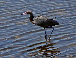 Banded Reddish Egret