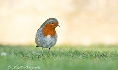 Little Robin (jo.angell) Tags: robin bird wildlife nature buckinghamshire
