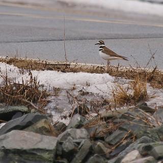 Killdeer Along The Road At Pond Cove