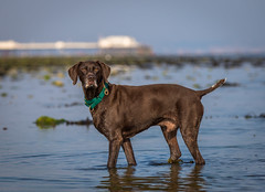 Dale (Paul`s dog photography) Tags: dale greek rescue dog gspgermanshorthairedpointer carat caringfortheanimalstrust