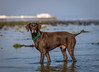Dale (Dogstar_photography) Tags: dale greek rescue dog gspgermanshorthairedpointer carat caringfortheanimalstrust