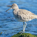 Willet (non-breeding plumage)