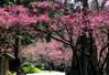 20160301 九族文化村 (張麗芬) Tags: taiwan 九族文化村 櫻花 櫻花祭 夜櫻 燈光 顏色 風景 櫻花湖
