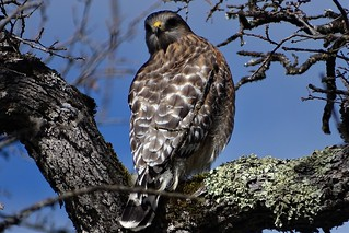 Red-shouldered Hawk--Buteo lineatus