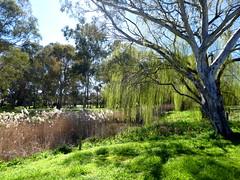 Bendigo Creek, Kangaroo Flat, Victoria (Diepflingerbahn) Tags: springtime rotarygatewaypark kangarooflat bendigo reeds willow tree river gum bendigocreek