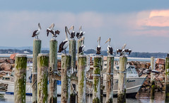_D7K6896.jpg (David Hamments) Tags: pelicansonapost nelsonbayharbour fantasticnature