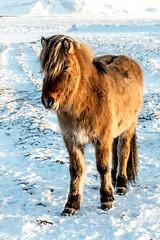 iceland-horses-single-1 (berkeleyhomes-dot-com) Tags: copyright2018iraserkes westernregion iceland is