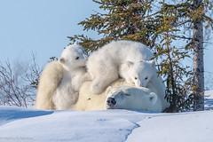 Tweens (Nedko Nedkov) Tags: canada manitoba snow wapusk wapusknp bear cub cubs mum polarbear white wildlife winter